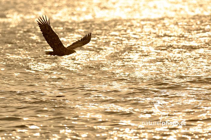 Orel mořský (Haliaeetus albicilla)