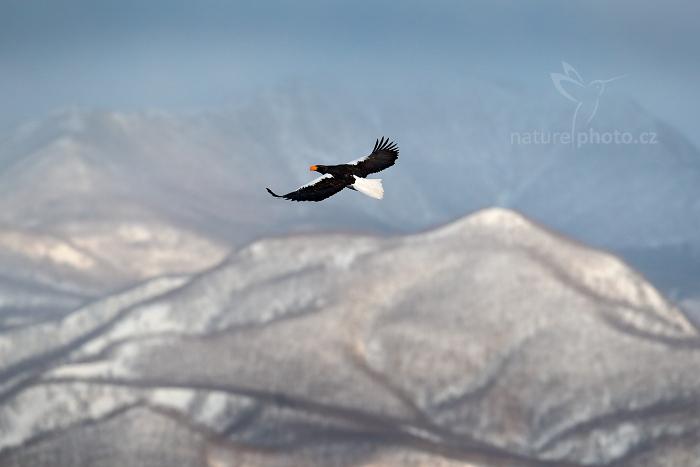 Orel východní (Haliaeetus pelagicus)