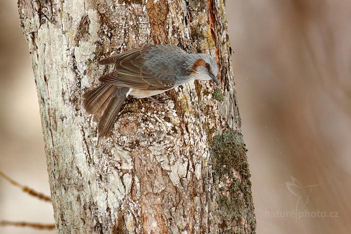 Bulbulčík japonský (Hypsipetes amaurotis)