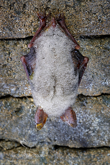 Netopýr velký (Myotis myotis)