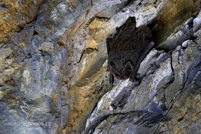 Netopýr černý (Barbastella barbastellus)