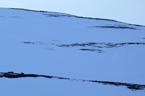 Pižmoň severní (Ovibos moschatus)