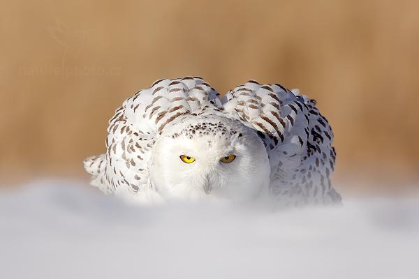 Sovice sněžná (Nyctea scandiaca)