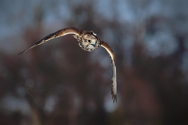 Raroh velký (Falco cherrug)