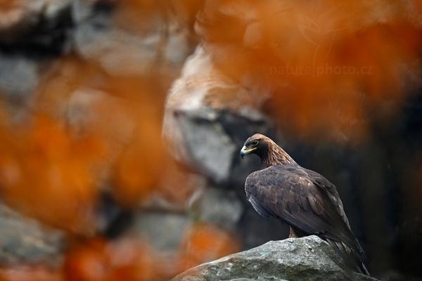 Orel skalní (Aquila chrysaetos)