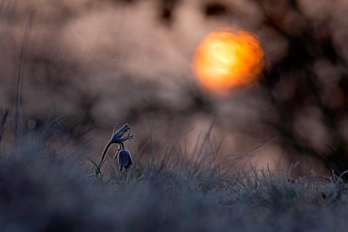 Koniklec luční český (Pulsatilla pratensis)