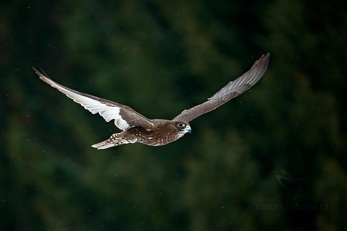 Raroh lovecký (Falco rusticolus)