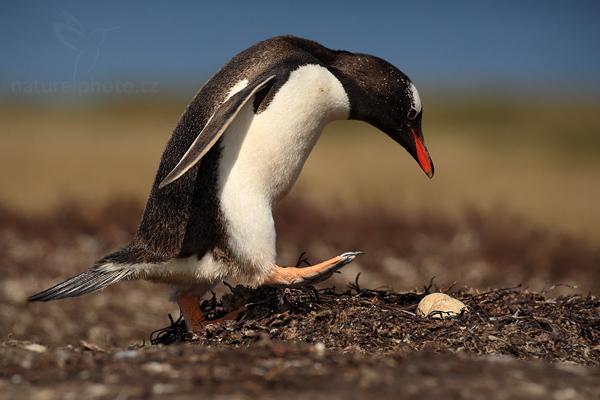 Tučňák oslí (Pygoscelis papua),