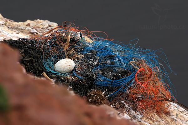 Terej bílý (Sula bassana), hnízdo