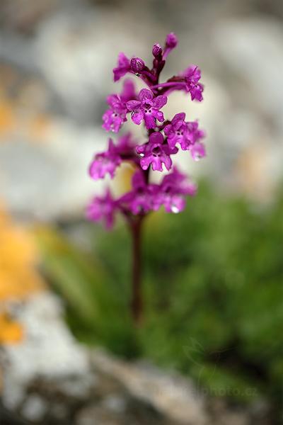 Vstavač čtyřskvrnný (Orchis quadripunctata)