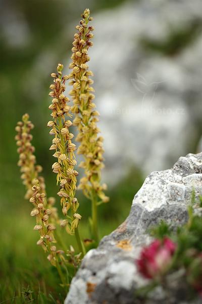 Aceras panenka (Aceras antropophorum)