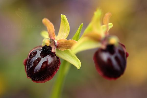 Tořič velikonoční gargánský (Ophrys garganica)