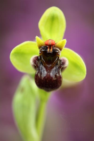 Tořič trubcovitý (Ophrys bombyliflora)