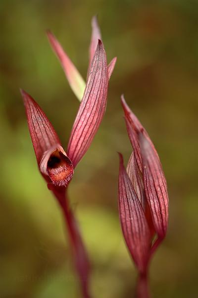 Serápie východní apulská (Serapias apulica)