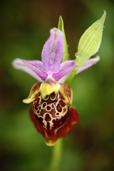 Tořič čmelákovitý apulský (Ophrys apulica)