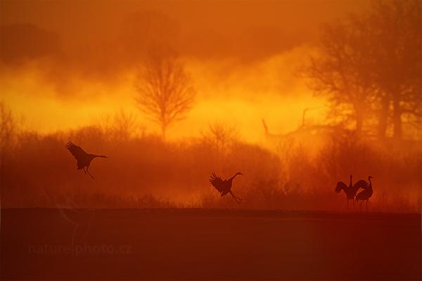 Jeřáb popelavý (Grus grus)