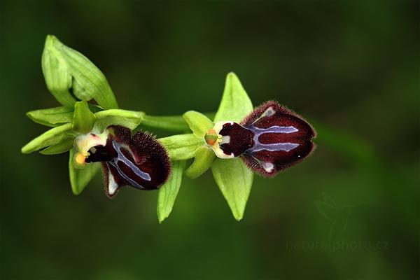 Tořič tmavý pravý (Ophrys incubacea)
