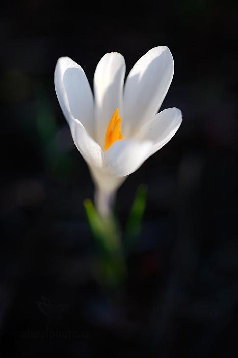Šafrán bělokvětý (Crocus albiflorus)