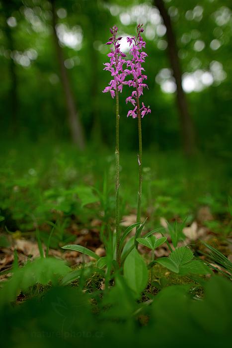 Vstavač mužský znamenaný (Orchis mascula ssp. signifera)