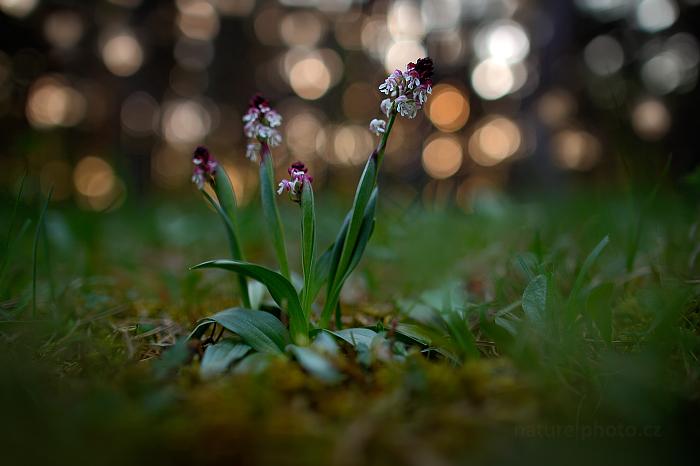 Vstavač osmahlý pravý (Orchis ustulata ssp. ustulata)
