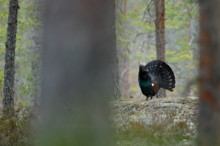 Tetřev hlušec (Tetrao urogallus)