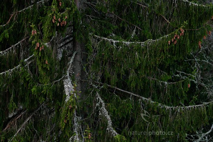 Puštík vousatý (Strix nebulosa)
