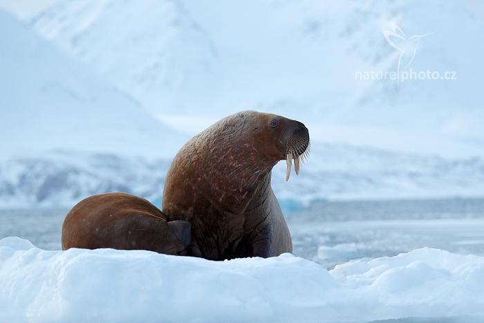 Mrož lední (Odobenus rosmarus) Walrus