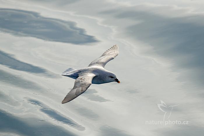 Buřňák lední (Fulmarus glacialis)
