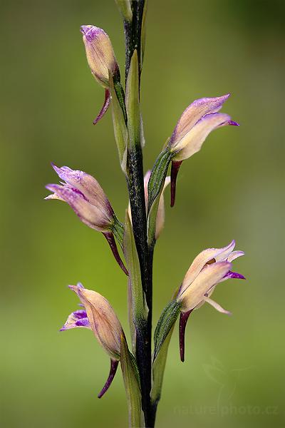 Hnědenec zvrhlý (Limodorum abortivum)