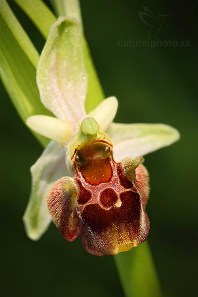 Tořič čmelákovitý Holubyho (Ophrys holoserica subsp. holubyana)