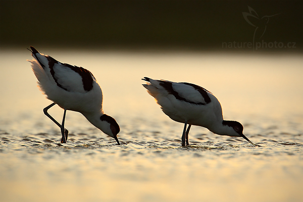 Tenkozobec opačný (Recurvirostra avosetta),