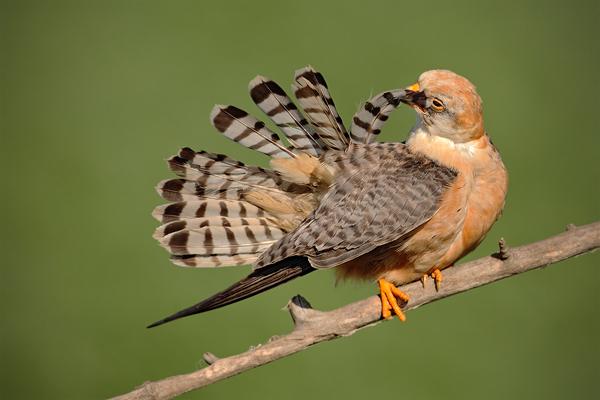 Poštolka rudonohá (Falco vespertinus)