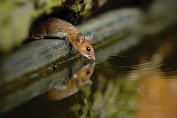 blíže neurčená myš/plch