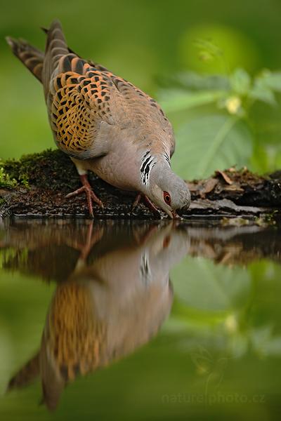 Hrdlička divoká (Streptopelia turtur)