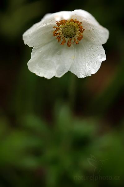 Sasanka lesní (Anemone sylvestris)