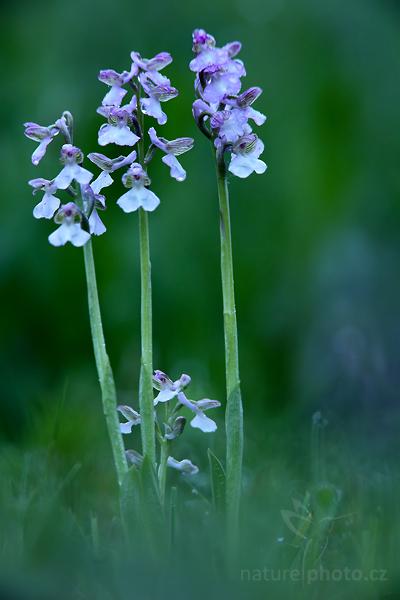 Vstavač kukačka (Orchis morio)