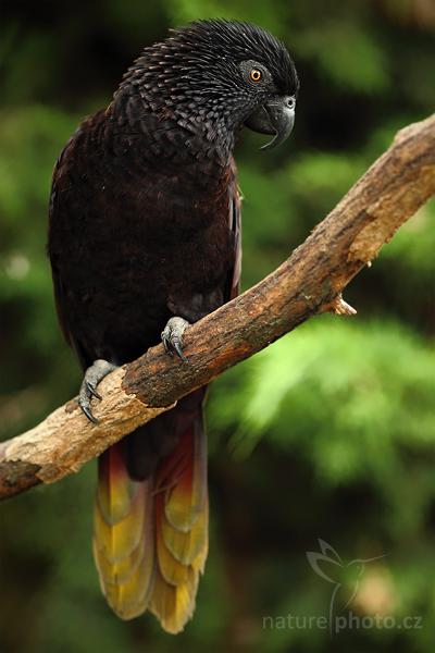 Lori černý (Chalcopsitta atra)