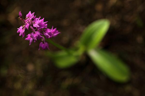 Vstavač Lorezův (Orchis x loreziana)