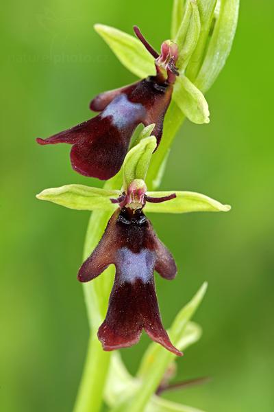 Tořič hmyzonosný (Ophrys insectifera)