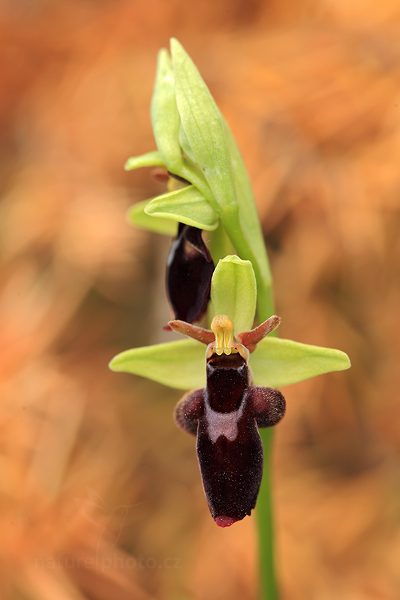 Tořič (Ophrys holoserica subsp. holubyana × Ophrys insectifera)