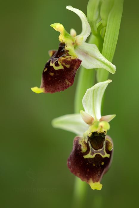 Tořič čmelákovitý (Ophrys holosericea)