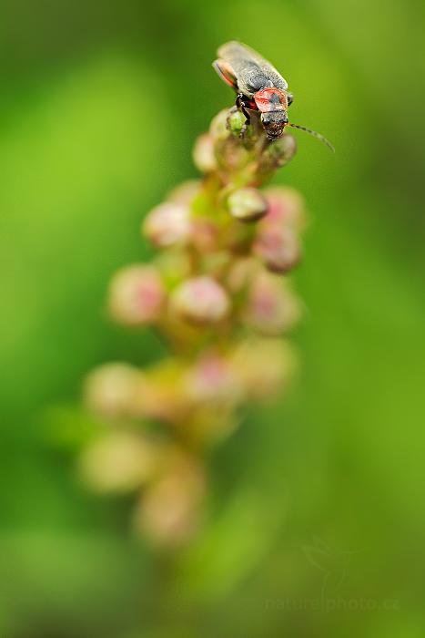 Vemeníček zelený (Coeloglossum viride)
