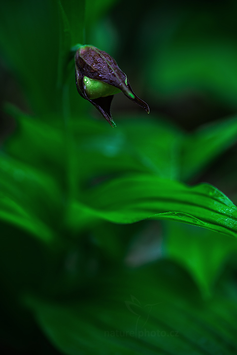 Střevíčník pantoflíček (Cypripedium calceolus)