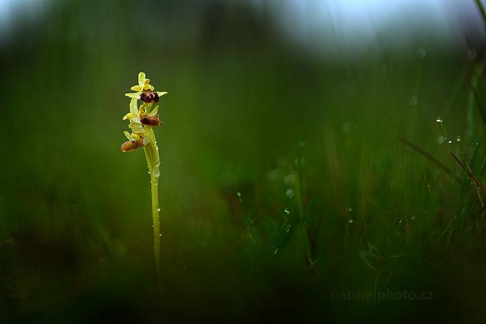 Tořič pavoukonosný (Ophrys sphegodes)