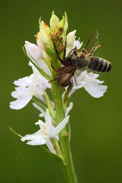 Prstnatec plamatý (Dactylorhiza maculata)