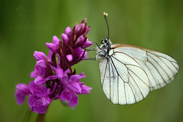 Prstnatec český (Dactorhiza bohemica)
