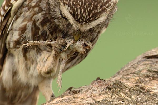 Sýček obecný (Athene noctua)