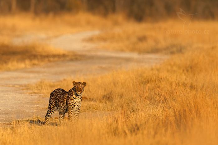 Levhart jihoafrický (Panthera pardus shortridgei)
