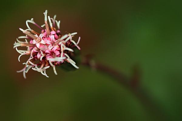Podbělice alpská (Homogyne alpina)