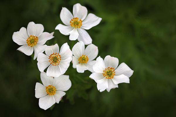 Sasanka narcisokvětá (Anemone narcissiflora)